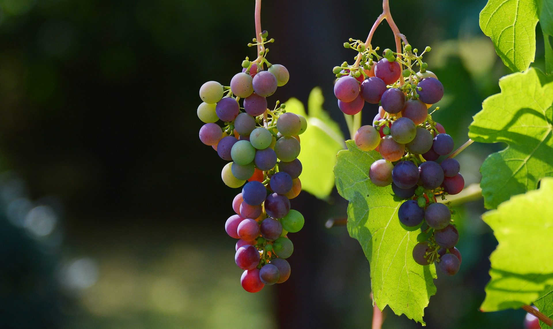 OCM vitivinicole : aide à la distillation de crise